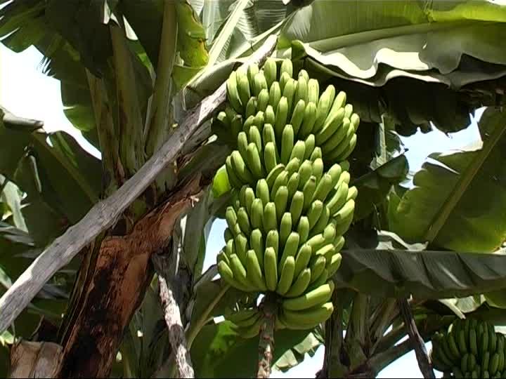 """""""Em palavras simples e imediatas, eu vejo que a bananeira é imagem visível de Algo invisível, imenso, omnipotente que pode ser só Deus."""""""
