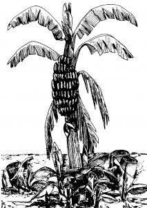 """""""A bananeira é símbolo de energia que nunca acaba: morre apenas parcialmente o caule mãe, pois brotam logo os rizomas, seus filhos."""""""